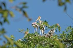 The Painted Stork (Mycteria leucocephala)  birds nest on the treetops.