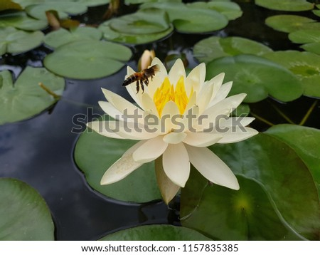 The pale yellow hue has a pale yellow pollen, and bees are pollinated in the pond. #1157835385