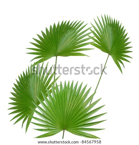 the palm leaves isolated white