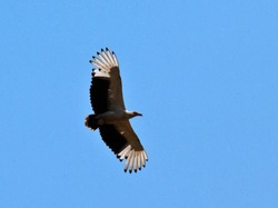 The Palm-nut Vulture is a peculiar bird with a diet of palm fruits and also hunting small mammals, amphibians, crustaceans and often scavenging the remains of Fish Eagle kills.