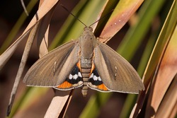 The palm tree butterfly , Paysandisia archon is a fast spreading, introduced, pest species From Uruguya and Argentina that attacks palm trees