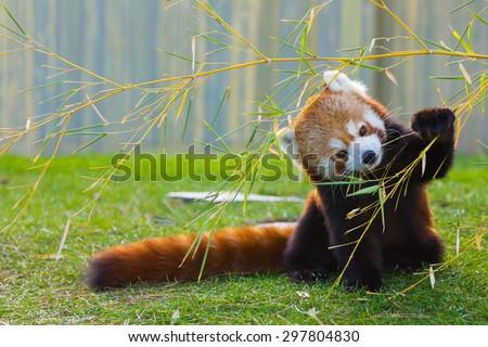 The panda red or lesser panda (Ailurus fulgens)