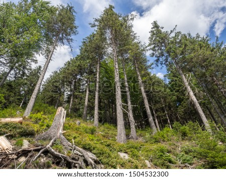 The panorama view of the pine forest on the hiking trail in national park Jeseniky Mountains, (Hrubý Jeseník). Czech Republic. #1504532300