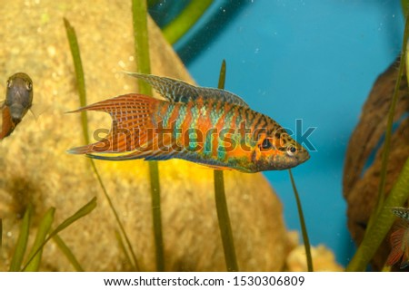 The paradise fish, paradise-fish, paradisefish, or paradise gourami (Macropodus opercularis) is a species of gourami found in most types of fresh water in East Asia. #1530306809
