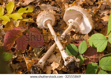 The parasol mushroom (Macrolepiota procera L.)