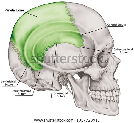 The parietal bone of the cranium, the bones of the head, skull. The ...