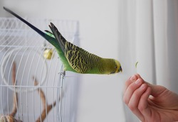 The parrot sits on a cage and eats from hands. The parrot stretches for food. Green wavy parrot on white background.