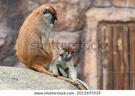 The patas monkey (Erythrocebus patas), also known as the wadi monkey or hussar monkey, is a ground-dwelling monkey distributed over semi-arid areas of West Africa, and into East Africa.  Foto stock ©