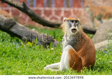 The patas monkey (Erythrocebus patas) in grass, also known as the wadi monkey or hussar monkey, is a ground-dwelling monkey distributed over semi-arid areas of West Africa, and into East Africa.  Foto stock ©