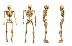 The pattern human skeletons isolated on white background , four skeleton pattern puppet, skull model Ghost