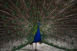 the peacock bird fluffed its tail. a peacock eats from a human hand. big beautiful bird