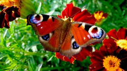 The  peacock  butterfly on the flower. Colorful butterfly. Insect and flowers.