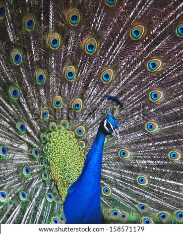 The Peacock\'s dance (2). A male peacock\'s elegant, bright and colorful plumage is best displayed when it dances.
