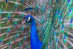The peacock's head behind which is its outstretched tail on which are the eyes.