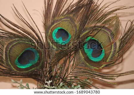 """Thepeacock""""tail"""", known as a """"train"""", consists not of tail quillfeathers, but highly elongated upper tail coverts. Thesefeathersare marked with eyespots, best seen when apeacockfans his tail."""
