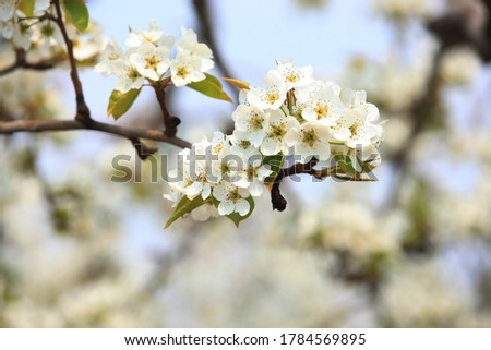 The pear trees blossom in spring Photo stock ©