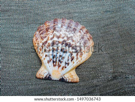 the pearl shell as a sea shell object in view