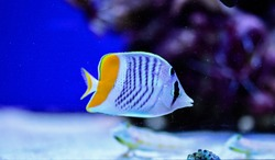 The pearlscale butterflyfish (Chaetodon xanthurus) is a species of butterflyfish (family Chaetodontidae) also known as yellow-tailed butterflyfish, crosshatch butterflyfish or Philippines chevron butt