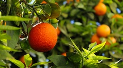 The perfect scene of a ripe orange on a tree. Orange fruit on a branch among the leaves. Other oranges in background blurred. Concept of squeezed juice. Citrus plant. Citrus fruit. Faro, Portugal.
