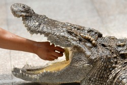 the performer put his hand into crocodilie mouth