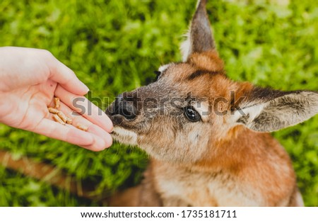 The person who is feeding wallaby in the Australian park