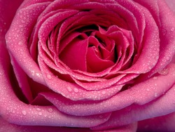 The petals of a delicate pink rose with water droplets, full screen image.
