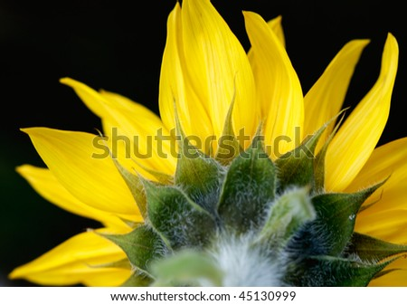 The petals of sunflower close-up in summer.