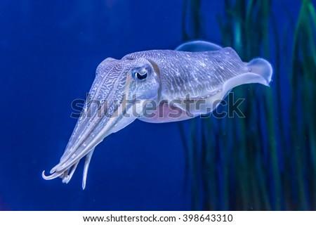 stock-photo-the-pharaoh-cuttlefish-sepia