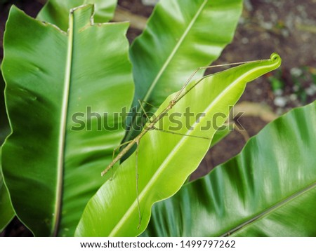The Phasmatodea (also known as Phasmida or Phasmatoptera) are an order of insects whose members are variously known as stick insects, stick-bugs, walking sticks or bug sticks. #1499797262
