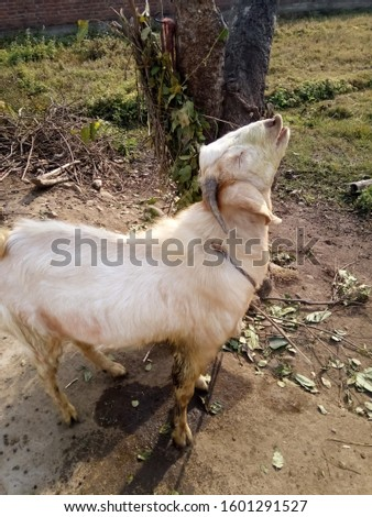The photo is taken, the male goat of India is white, it is very beautiful to see, it is worth seeing its action.