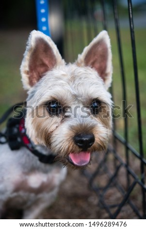 The photo of Australian silky terrier #1496289476