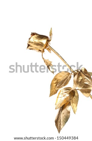The photo of beautiful golden rose