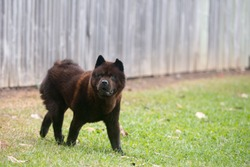 The photo of chow chow