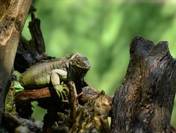 The photo shows a large green iguana in the park on a tree trunk. The image shows huge claws and a head with a huge goiter. In the terrarium, the iguana poses in the trees.