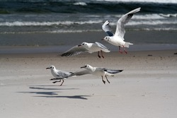 The photo shows seagulls taking flight, against the background of the beach and the sea. A team of seagulls is racing for food. Hunger drives competition.