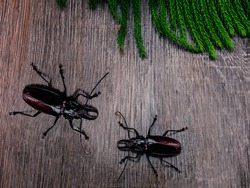 The photo shows the Titan beetle. The largest beetle in the world. Live insect photographed from above. Exotically, the beetle has a body size of about 10 centimeters. Barbel beetle is black color.