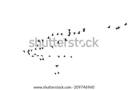 The photograph of a isolated flock of wild geese in flight formation / Flock of wild geese