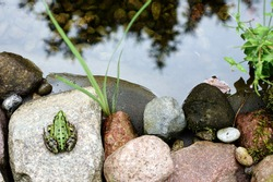The photograph of a tree frog sitting on a stone garden pond/Tree Frog by the pond