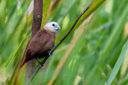 The photograph of a white-headed munia (Lonchura maja) which is most frequently found in rice fields and grasslands, frequently near human habitation.