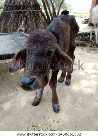 The picture a black calf of an Indian buffalo