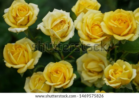The picture of a group of yellow roses in a very natural and vintage style.