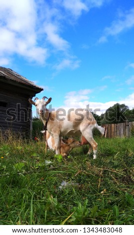 the picture of the goat and her kid,who eats mommy's milk on a background of green grass blue sky and shabby huts
