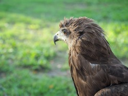 The Picture Of Wildlife Closeup of  eagle (Crested serpent-eagle) ,Predator bird.