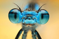 The picture shows a beautiful  damesfly Enallagma cyathigerum. Macro Shot.