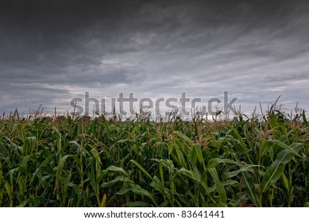 The picture shows a cornfield and rain clouds.