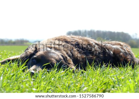 The picture shows a dog which is a border collie mix. She is laying on a big green field /meadow and enjoys the sun and the nature with her owner.