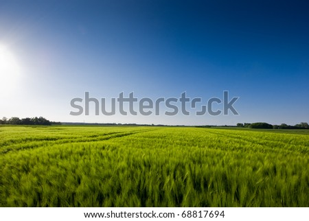 The picture shows a field of grain (barley) and a blue sky.