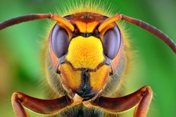 The picture shows Hornet (Vespa crabro) isolated on colorful background. Mega macro shot. Ireneusz Irass Waledzik.Extreme close-up.