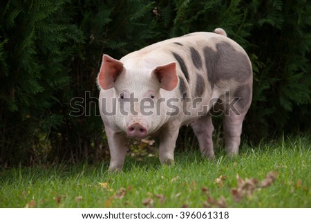 The pig on the meadow