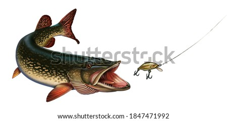The pike hunts for the golden wobbler bait. Great northern pike on the hunt illustration isolate realistic art.